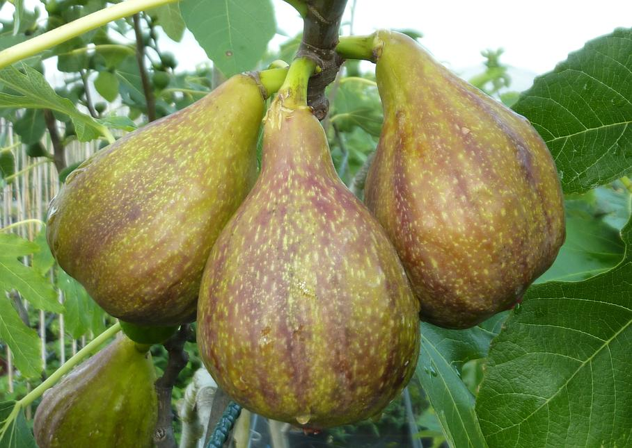 Figs background - Hengartner Pflanzen GmbH - Neukirch